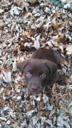 Çikolata Labrador Retriever yavru