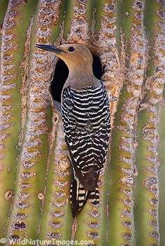 Gila Woodpecker (Melanerpes uropygialis) tends to a nest cavity in a Saguaro Cactus – McDowell Mountain Regional Park, Arizona Pretty Birds, Love Birds, Beautiful Birds, Arizona Birds, Tucson Arizona, Cactus, Desert Animals, Carnivore, Kinds Of Birds