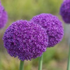 Allium, Garden, Flowers, Plants, Garten, Flora, Plant, Lawn And Garden, Royal Icing Flowers