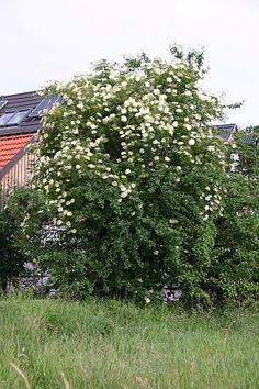 Der Holunder Sambucus nigra ist wertvoll, aber er braucht viel Platz.