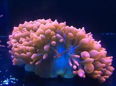 New Rose Bubble Tip Anemone!