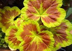 'Persian Queen' geranium