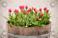 This is exactly how Mom had planted her tulips - in a whiskey barrel in our front yard.