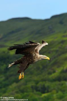 """White-tailed Eagle"" by Craig Jones, via 500px."