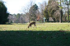 Deer in Yorktown, Virginia.