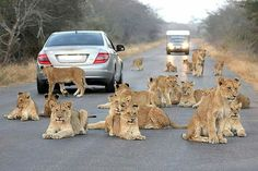 Lion road block