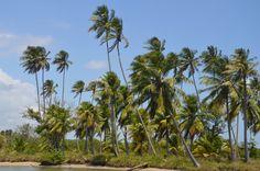 Kokospalmen, Laugen von Maceio, Brasilien