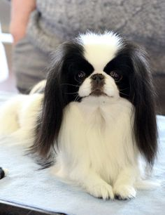 Japanese Chin Puppy Dog Puppies Dogs