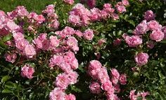 Kuvahaun tulos haulle ruusutarha