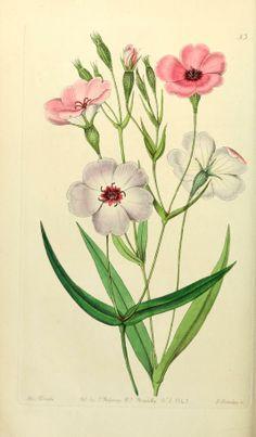 Edwards' botanical register, Dark-eyed Viscaria