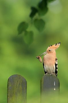 fairy-wren:  hoopoe (photo by denise choppin)