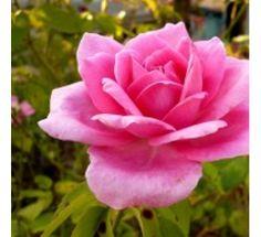Scented Rose - Gawathi Gulaab240