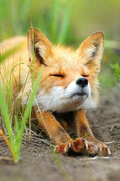 FOX STRETCHING のび~っ