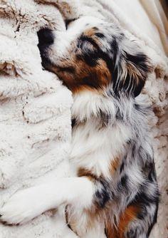 Australian Shepherd Dog Breed Information Beliebte&; Australian Shepherd Dog Breed Information Beliebte&; Doggoo Doggo Australian Shepherd Dog Breed Information Beliebte Bilder Super Cute Puppies, Baby Animals Super Cute, Cute Baby Dogs, Cute Little Puppies, Cute Dogs And Puppies, Cute Funny Animals, Doggies, Adorable Puppies, Cute Puppy Pics
