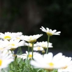 #agenceviolette, #photography, #flowers, #helenaamourdedieu, #daisies,     .@Agence Développement Violette (Helena Amourdedieu) 's Instagram photos   Webstagram - the best Instagram viewer