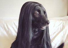 甲斐犬にウィッグをかぶせたら…洋犬みたいになっちゃったと話題だよ / エレガントな雰囲気でまるで貴婦人のようです! | Pouch[ポーチ]