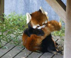 Pin by Marta Tritt on pandas Red Panda Gif, Red Panda Cute, Panda Love, Cute Funny Animals, Cute Baby Animals, Animals And Pets, Cute Dogs, Panda Mignon, Sean Parker