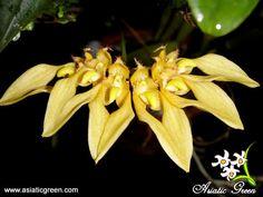 http://i25.photobucket.com/albums/c74/asiaticgreen/Orchids/Bulbophyllum/Bulbannandalei_Thai.jpg