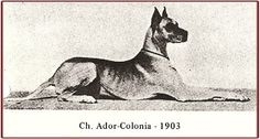 CH Ador-Colonia. Fawn. Born 1903. Bred extensively and had unbelievable number of kids and grandkids. Was bred to Schmunzel v Merscheid, unregistered, and produced the great CH Zeus v Ohligs-Mercheid.