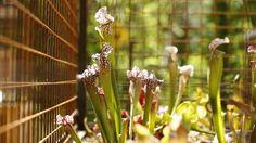 L'opercule de cette belle sarracénie ( Sarracenia 'Juthatip Soper') évite que l'eau de pluie pénètre dans l'urne et ne vienne diluer les enzymes digestives.