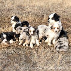 Miniature-australian-shepherd-puppes 6982