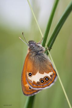 Ventral View of The Pearly Heath (Coenonympha arcania) is a butterfly species belonging to the family Nymphalidae. It can be found in Central Europe.