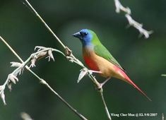 Red-Headed Parrotfinch | erythrura tricolor / tricolor parrotfinch