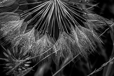 Dew_ by JohnVS - Plants In Black And White Photo Contest