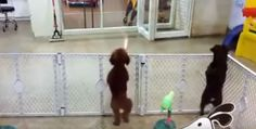 If you're looking for some hot new dance moves for this season, look no further! This adorable dancing Poodlepuppywill show you his cute little dance moves!Watch the video and see how adorable this dancing puppy is! Any puppy that getssothrilled when they see their owner is absolutely adorable and charming, but thenthis littlecutieprovides a whole …