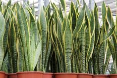Looking for Snake Plant, also known as Mother-in-law's tongue , for your garden landscape? Find Sansevieria trifasciata Laurentii availability & prices online now. Sansevieria Trifasciata, Snake Plant Care, Mother In Law Tongue, Bathroom Plants, Plantar, Indoor Air Quality, Tropical Plants, Cactus Plants, Container Gardening