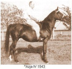 *Azja IV (Landsknecht by Koheilan IV x Asra by Gazal) Color: ch Height: 14.2H GSB; AHR #856 Bred by Crabbet Arabian Stud, Sussex, England.  1930 Imported to USA by Roger A. Selby, Portsmouth, Ohio.  Owned by Alice Payne, Chino, California.
