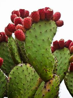 Nopal, tunas Cacti And Succulents, Planting Succulents, Planting Flowers, Potted Plants, Cactus Plante, Prickly Pear Cactus, Desert Plants, Exotic Fruit, Cactus Y Suculentas