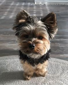My morning neck stretches yorkshire terrier - Dogs Cute Teacup Puppies, Cute Dogs And Puppies, Baby Dogs, Teacup Yorkie, Teacup Dogs, Small Puppies, Yorky Terrier, Terrier Dogs, Fox Terriers