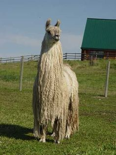 K-Tu Front picture Ostriches, Alpacas, Lambs, Starter Kit, Sheep, Funny Animals, Ranch, Pictures, Camels