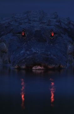 an alligator has a tapetum lucidum at the back of each eye, which reflects light back into the photoreceptor cells to make the most of low light. the colour of eyeshine differs from species to species, but in alligators glows red. the length of the alligator can be approximated by judging the distance between the eyes, making this alligator very long.  photo by larry lynch