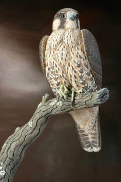Immature Peregrine Falcon - Lifesize - Wildfowl Wood Carving - Bird Art by GillesPrudhomme on Etsy https://www.etsy.com/listing/175768759/immature-peregrine-falcon-lifesize