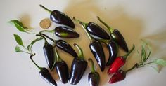 Purple Jalapeño Pepper: Deeper Shade Of Spice http://www.pepperscale.com/purple-jalapeno-pepper/?utm_content=buffer7bd85&utm_medium=social&utm_source=pinterest.com&utm_campaign=buffer #spicy #food