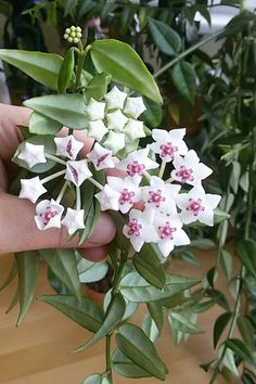 Hoya bella, pikkuposliinikukka, liten porslinblomma