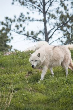 Let Us Be. Free. To live as Wild Free Wolves. Stop Killing Wolves...