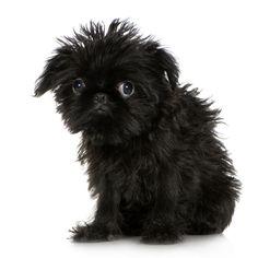 www.petclic.es la mayor tienda online de productos para #mascotas. La mayor biblioteca de contenido y consejos sobre mascotas. 1.000 consejos. 50.000 imagenes. Foto del #perro grifon belga