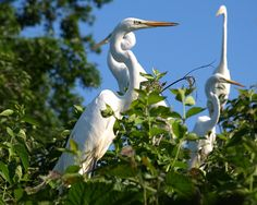 Great Egrets on Goose Island, Hutchinson River, Bronx, New York City ...