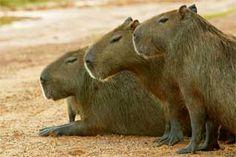 Chigüires o capibaras a las orillas del río en los llanos de Apure. Venezuela