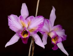 Sunset Valley Orchids - L. anceps 'Jerry & Anita'