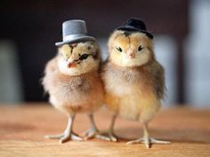 funny-chicks-chickens-with-hat-6307