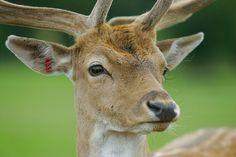 Deer_Face_With_Antlers_A8V2717.jpg (800×533)
