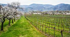 Wachau - die Marillenblüte und Krems - Primärfarben