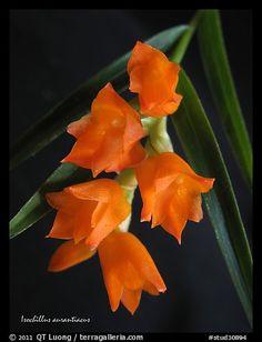 Isochillus aurantiacus. A species orchid (color)