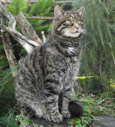 Endangered Scottish Wildcat..looks the same as a domestic cat but is much larger. They need help to survive!