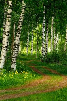 Birches (they could also be Aspens or Poplars). I want a pathway like this through my forest!