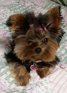 Awwww. LOVE this Yorkie!   We have a male Yorkie who is 2. What a handful!!!   #yorkie #digizazzleit  #digiscrapthat  http://www.zazzle.com/digiscrapthat http://www.digiscrapthat.com